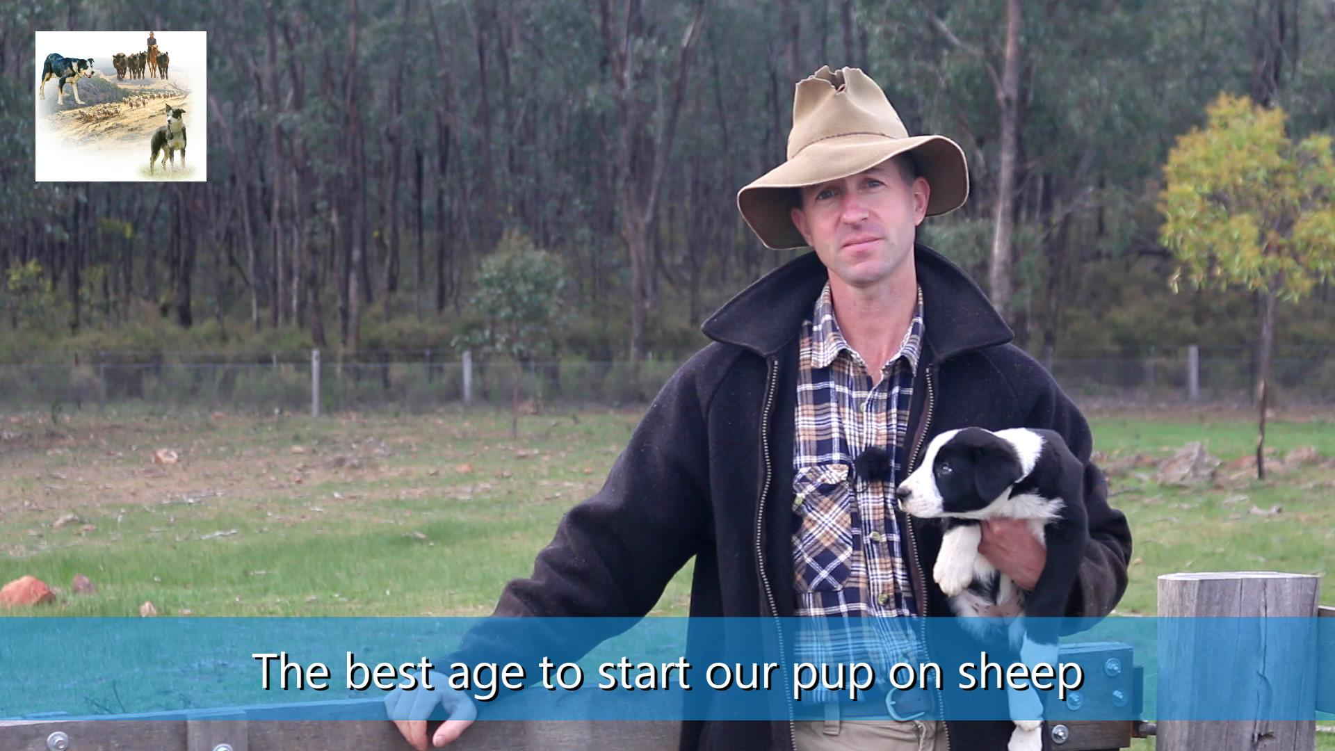 Best age to start training the sheepdog pup on sheep