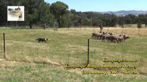 Campaspe Annie sheepdog pup gaining experience thumbnail
