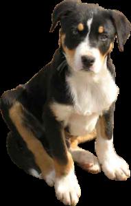 Campaspe sheepdog pup black white tan cut