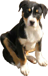 Campaspe sheepdog pup black white tan cut