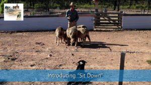 Introducing sit down lie down sheepdog training video thumbnail