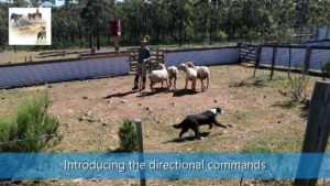Introducing the direction flanking commands sheepdog training video thumbnail