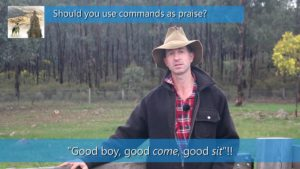 Should you use commands as praise when training sheepdogs thumbnail