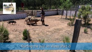 Starting the sheepdog pups training on sheep part 2 video thumbnail