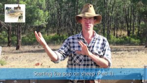 Starting the sheepdog pups training on sheep part 1 video thumbnail