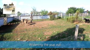 Widening the pup out sheepdog training video thumbnail